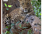 Status of Common Leopard in Katerniaghat Wildlife Division